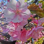 気が早いのか最近は桜=河津桜になってきてます?